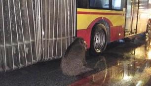 Warszawa: kierowca miejskiego autobusu uratował rannego dzika