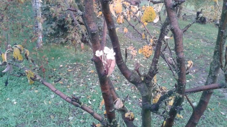 W Wykowie koło Płocka zakwitła grusza
