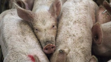 07-07-2017 15:23 Podlaskie: blisko 1,1 tys. świń w kolejnym ognisku ASF