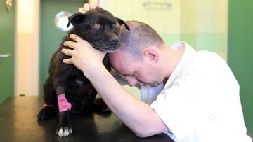 """11-06-2016 17:09 """"Oczy wypadły z oczodołów"""", """"zmiażdżone płuca, wątroba w rozsypce"""". Skatowany pies - weterynarze walczą o jego życie"""