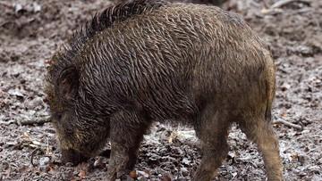 15-05-2016 09:56 Dzik zabił 85-latkę. Zwierzę uciekło z minizoo