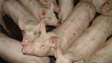 05-09-2016 10:28 Zespół prokuratorów wyjaśni sprawę wirusa afrykańskiego pomoru świń