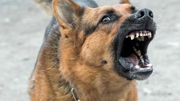 29-03-2017 16:37 Pies zaatakował 3-letnie dziecko. Ugryzł je w twarz i szyję
