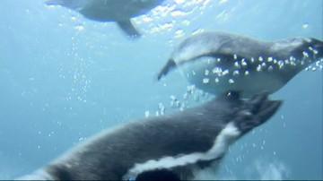 Mamy swojego pingwina! Polsatnews.pl nadał imię pisklakowi z wrocławskiego zoo