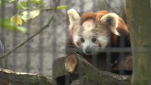Panda to zwierzak zasłużony dla informatyki