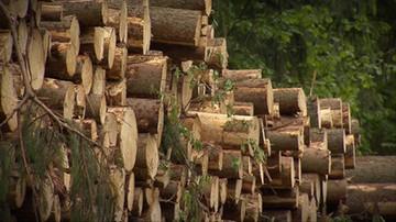 Szydło: sanitarne usuwanie drzew z Puszczy Białowieskiej ma puszczę uratować
