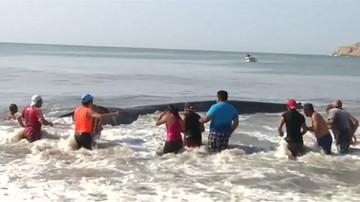 Plażowicze uratowali wieloryba. Wepchnęli do wody zwierzę ważące 40 ton