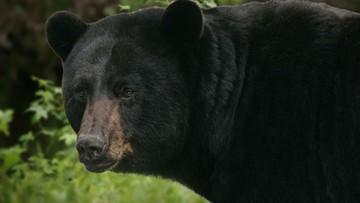 06-07-2016 11:19 Były bokser starł się z dorosłym niedźwiedziem. Skończyło się na kilku zadrapaniach