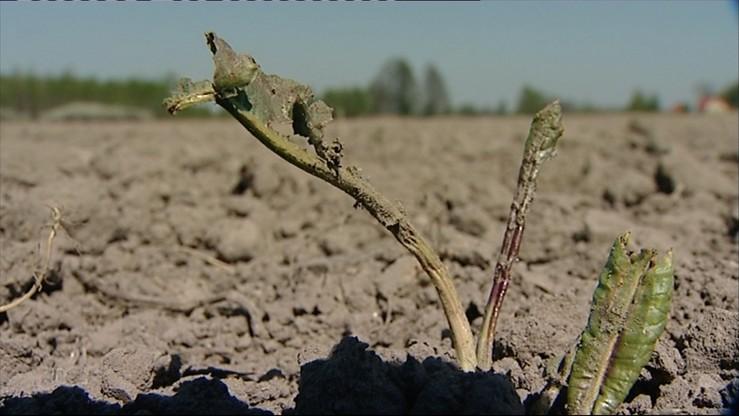 W rolnictwie widać pierwsze symptomy suszy. Może być gorsza niż rok temu