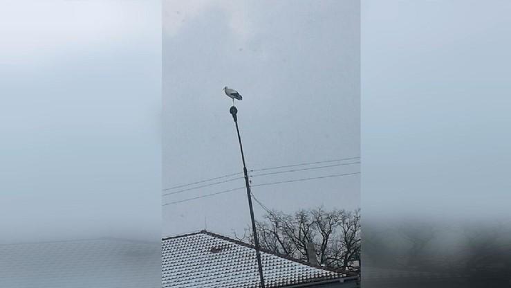Bocian w Wąsoszu na Dolnym Śląsku. Było zimno, a on stał na latarni