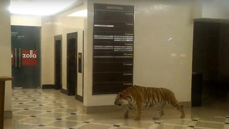 Tygrys w holu w centrum handlowym w Rosji. Nikomu nic się nie stało [WIDEO]