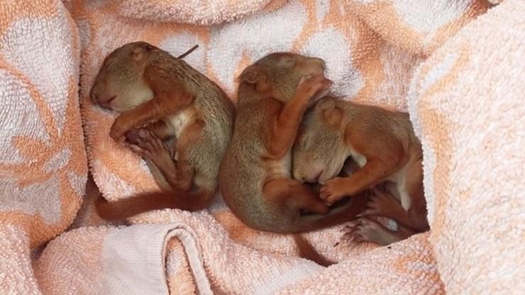 Trzy małe wiewiórki uratowane przez mieszkankę Warszawy