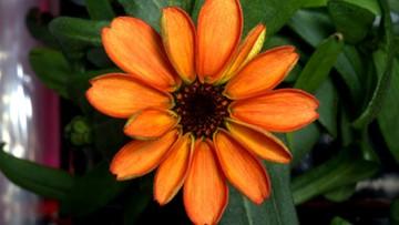 19-01-2016 12:12 Pierwszy kwiat zakwitł w przestrzeni kosmicznej