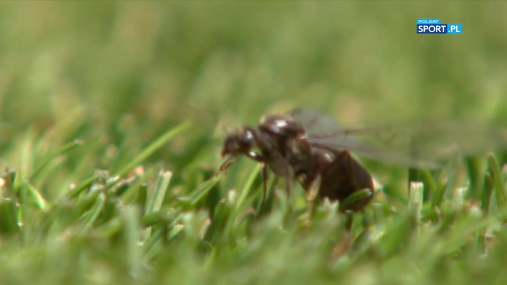 Latające mrówki nawiedziły Wimbledon!