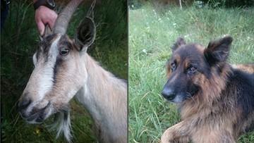 27-07-2017 15:09 Koza szła drogą, towarzyszył jej pies. Musiała interweniować policja