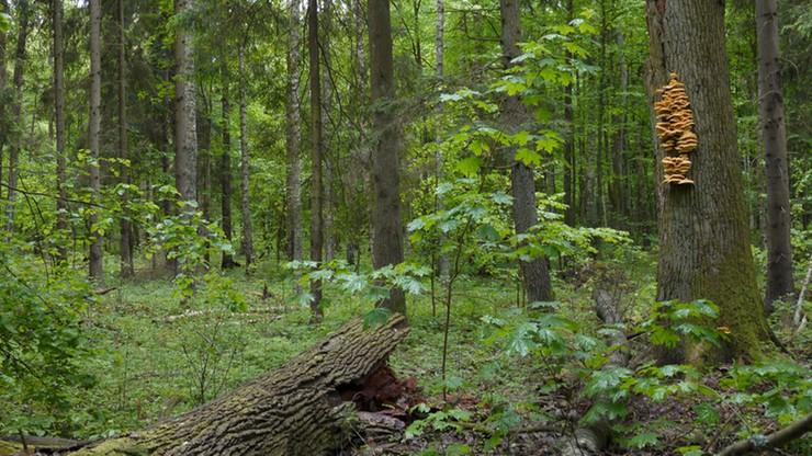 Petycja przeciwko wycince w puszczy Białowieskiej. Resort środowiska: są też listy za porządkowaniem lasu