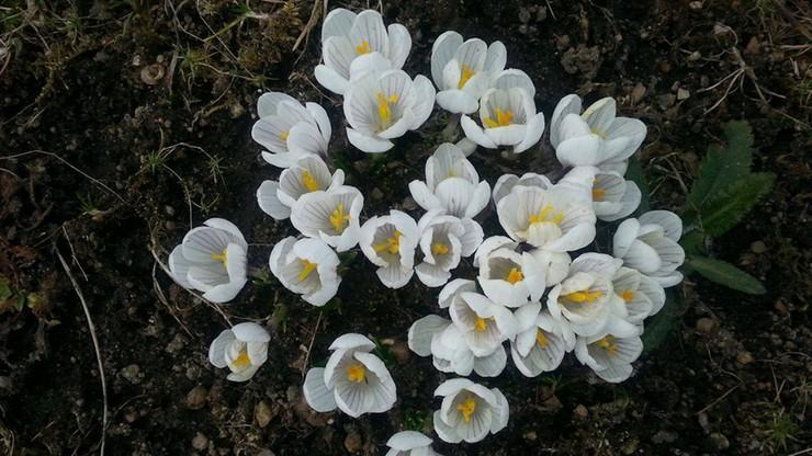 2017-03-21 Nadeszła wiosna, zakwitły krokusy
