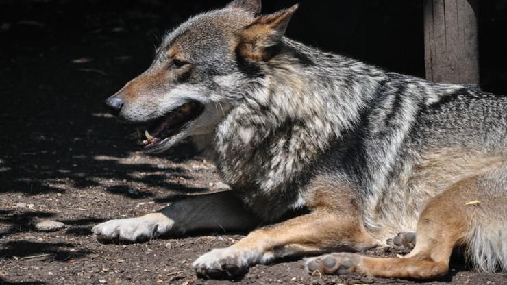 Trzylatek zaatakowany przez wilka w rosyjskim zoo. Ma pogryzione ręce i odgryzione ucho