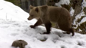 06-05-2016 17:01 Chcą uratować drugiego niedźwiadka z Kasprowego Wierchu