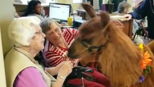 Lamoterapia w domu spokojnej starości. Niecodzienna inicjatywa opiekunów