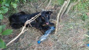14-07-2016 11:12 Przywiązał psa do drzewa i odjechał. Zwierzę było skrajnie wyczerpane