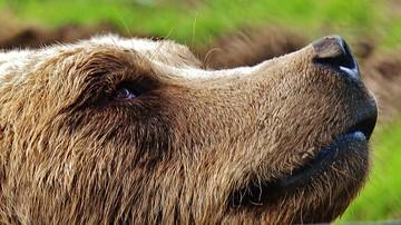 """23-04-2017 17:53 Zapach łap to podstawa komunikacji niedźwiedzi. Rozszyfrowana tajemnica ich """"tańca"""""""