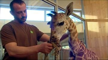 25-12-2015 08:43 Debiut małej żyrafy z warszawskiego zoo