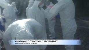 Wyjątkowo złośliwy wirus ptasiej grypy - masowy ubój ptaków w Japonii