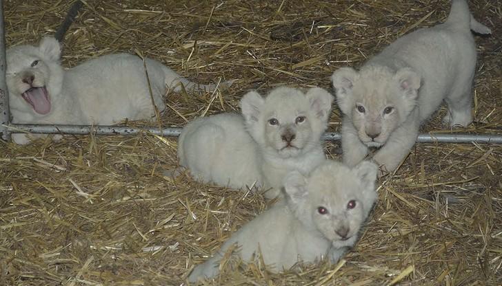 Cztery białe lwiątka urodziły się w Świerkocinie. Ogłoszono konkurs na nadanie im imion