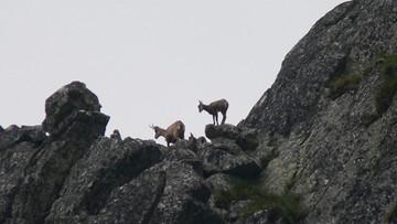 04-07-2017 14:13 Najstarszy monitoring przyrodniczy prowadzony przez dwa państwa jednocześnie. Policzyli kozice w Tatrach