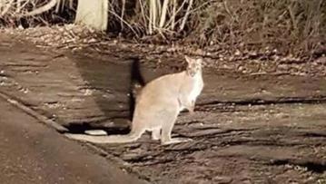 07-03-2016 12:23 Kangur uciekł z hodowli w okolicach Legionowa. Przechytrzył policjantów i sam wrócił do swojego właściciela