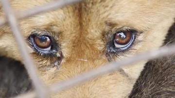 14-06-2016 22:15 Nie chcą festiwalu z psim mięsem w roli głównej
