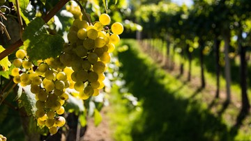 22-10-2015 08:10 Nawet 12 ton winogron z hektara; pomogło gorące lato