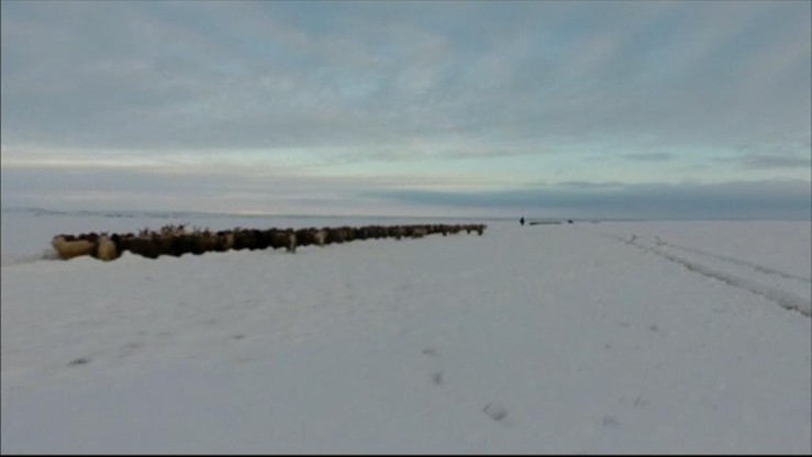 Pasterze i ponad 160 tys. owiec ugrzęźli w śniegu. 70 godzin czekali na ratunek
