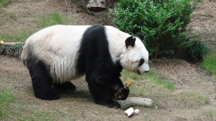 Uśpiono najstarszą pandę żyjącą w niewoli. Jia Jia miała 38 lat