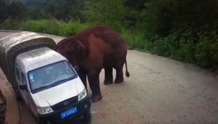 Sceny mrożące krew w żyłach. Agresywny słoń atakował samochody na drodze w Chinach