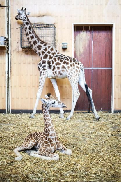 Żyrafek z warszawskiego zoo ma już ponad 2 metry. Można mu składać życzenia