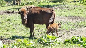 27-08-2016 10:26 Przybywa żubrów w Bieszczadach