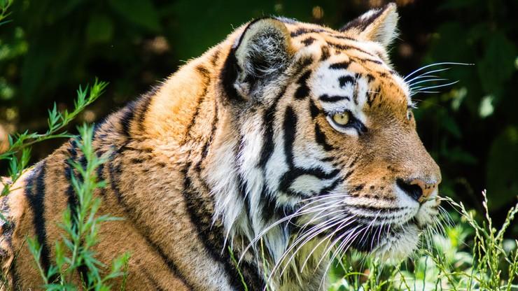 Mnisi nielegalnie handlowali tygrysami. Zwierzęta trzymali w świątyni