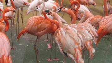 Dzieci kamieniami zabiły flaminga karmazynowego. W czeskim zoo