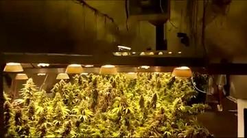 Policja rozbiła dwie grupy narkotykowe. Zlikwidowano sześć plantacji marihuany