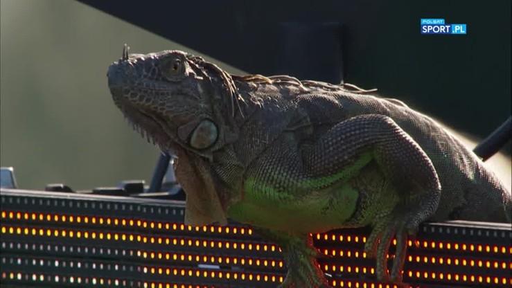 Olbrzymia jaszczurka odwiedziła tenisistów na turnieju w Miami!