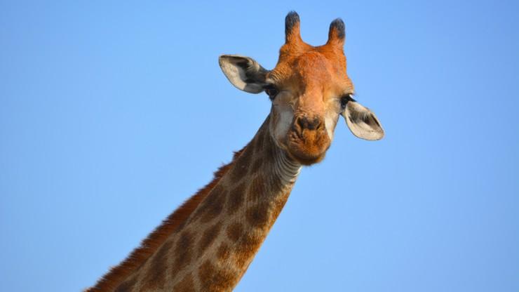 Naukowcy: są aż 4 gatunki żyraf