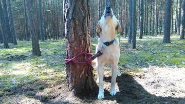 28-07-2016 11:52 Zwyrodnialec przywiązał psa do drzewa w środku lasu