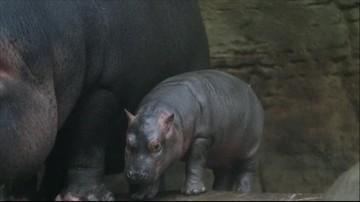 25-02-2016 20:13 Debiut hipopotama w czeskim zoo