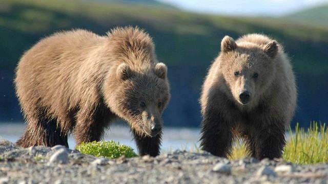 Podkarpackie: niedźwiedzie nadal aktywne