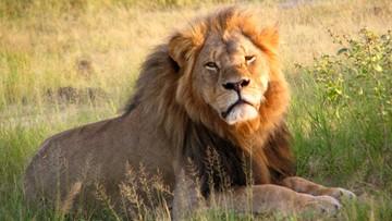 12-10-2015 21:41 Władze Zimbabwe nie postawią zarzutów dentyście, który zabił lwa Cecila