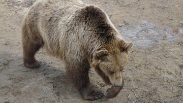 08-09-2016 19:12 Niedźwiedź zaatakował czeskich turystów w Tatrach. Obyło się bez poważniejszych obrażeń