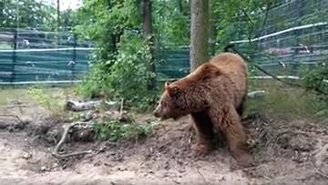 """Baloo na pierwszym spacerze. """"Brak pazurów utrudnia poruszanie się"""""""