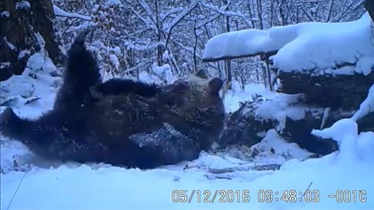 Niedźwiedzie jeszcze nie śpią. Przynajmniej w Bieszczadach